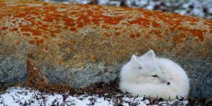 Animal Jigsaw Puzzles: Arctic Fox