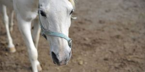 Animal Jigsaw Puzzles: White Horse