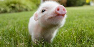 Teacup Pigs, Cute!