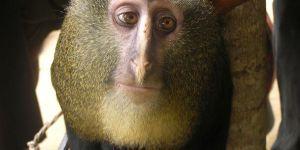 Animal Jigsaw Puzzles: Lesula Monkey