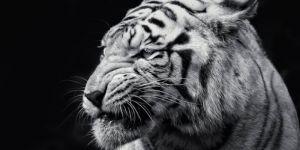 Jigsaw Puzzle: Black & White Tiger
