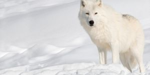 Jigsaw Puzzle: White Wolf In Snow