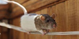 Cute Rats Doing Tricks