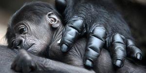 New Gorilla Baby at The San Francisco Zoo