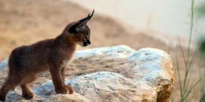 10 Cutest Babies of Exotic Animals Living in The Desert