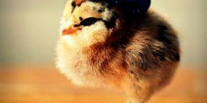 Cute Chicks Wearing Hats