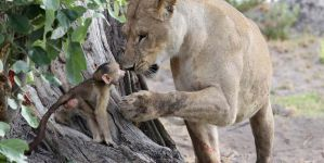 A Baby Baboon's Frightening Encounter With Lions