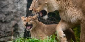 Adorable Lion Cubs Imitate Daddy's Roar