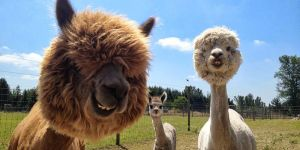 The Most Fabulous Alpacas Hairstyles Ever