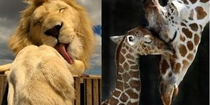 Animal Cuteness Battle - Lion vs Giraffe