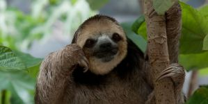 Animal Jigsaw Puzzles: Cool Sloth
