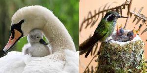 Animal Cuteness Battle - Swan vs Hummingbird