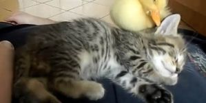 Kitten & Duckling Napping Is The Cutest Thing Ever