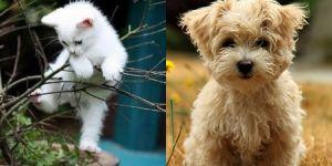 Animal Cuteness Battle - White Kitten vs Maltese Puppy