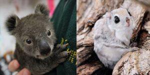 Animal Cuteness Battle - Koala Baby vs Flying Squirrel