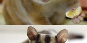 Animal Cuteness Battle - Slow Loris vs Sugar Glider