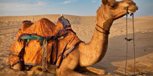 Animal Jigsaw Puzzles: Camel