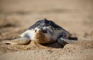 The-Largest-Sea-Turtles-670-1