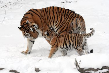 Animal Jigsaw Puzzles: Tigers In The Snow