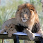 Adorable Baby Lion With His Father