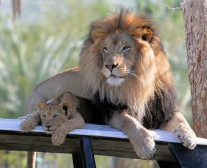 Lion-And-Baby-Lion-2