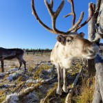 Search For Santa Claus With Reindeer & Siberian Huskies