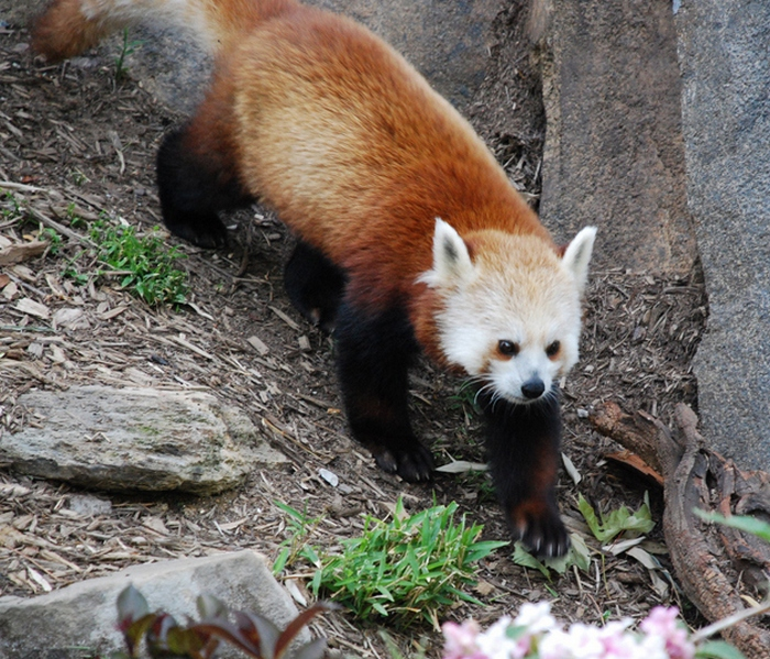 20 Beautiful Red Pandas
