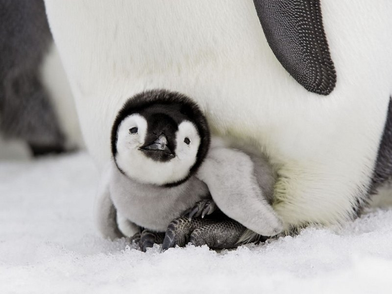 Incredibly Cute Penguins