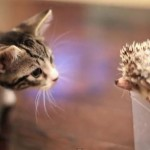 A Kitten Meets A Hedgehog