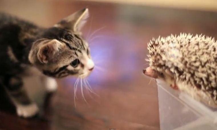 A Kitten Meets A Hedgehog