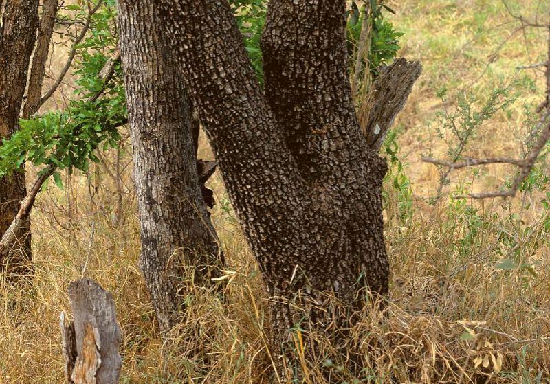 Camouflage animal10