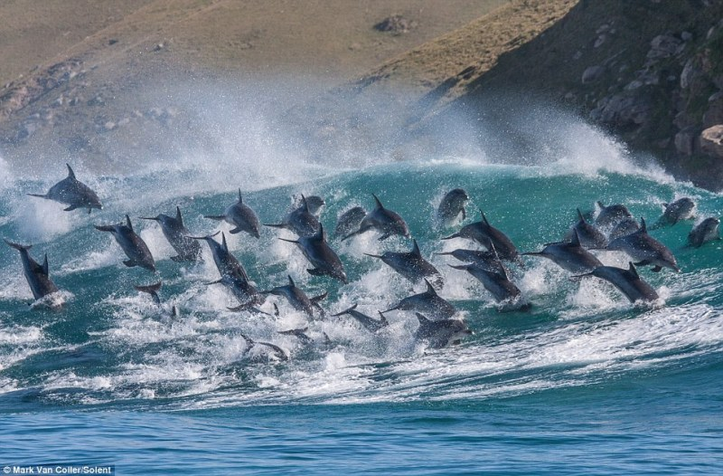 Dolphins riding wave