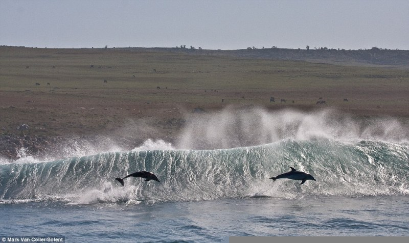 Dolphins riding wave2