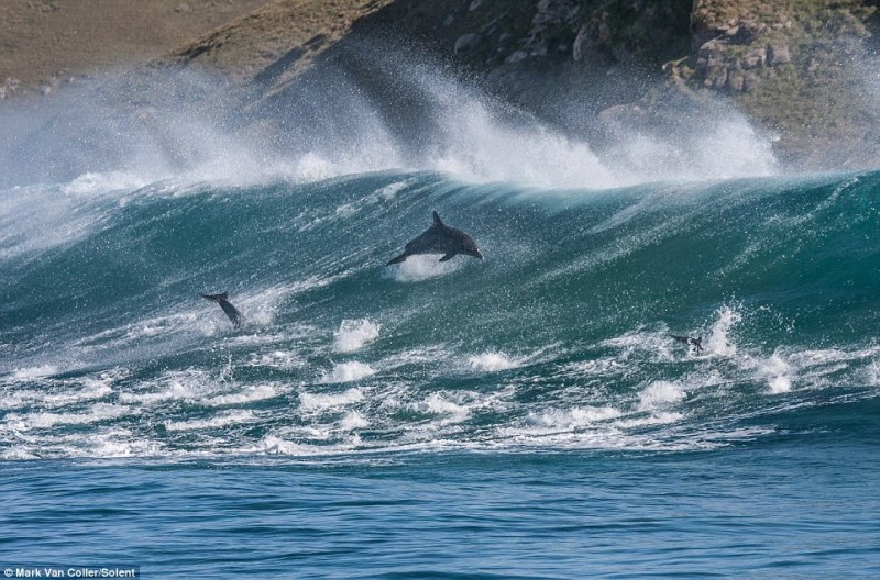 Dolphins riding wave3