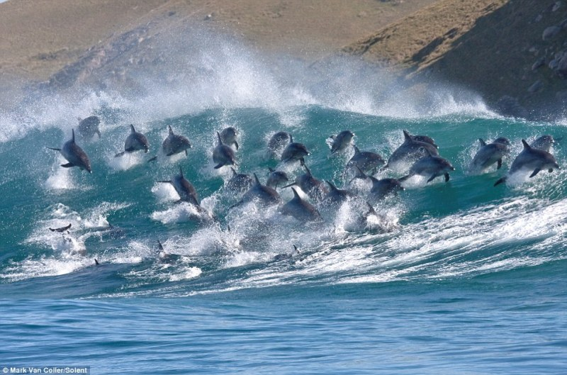 Dolphins riding wave5