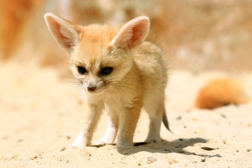 Fennec hare hoax - photo#37