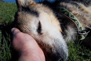 Schoep The 20 Years Old German Shepherd Has Passed Away