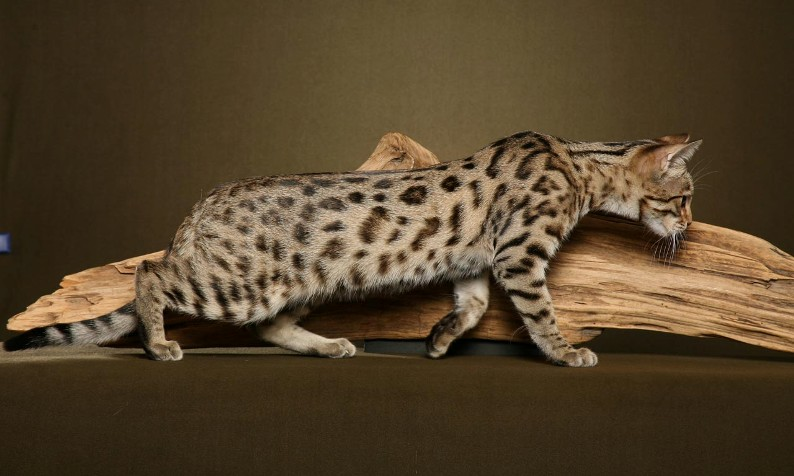 bengal cat1