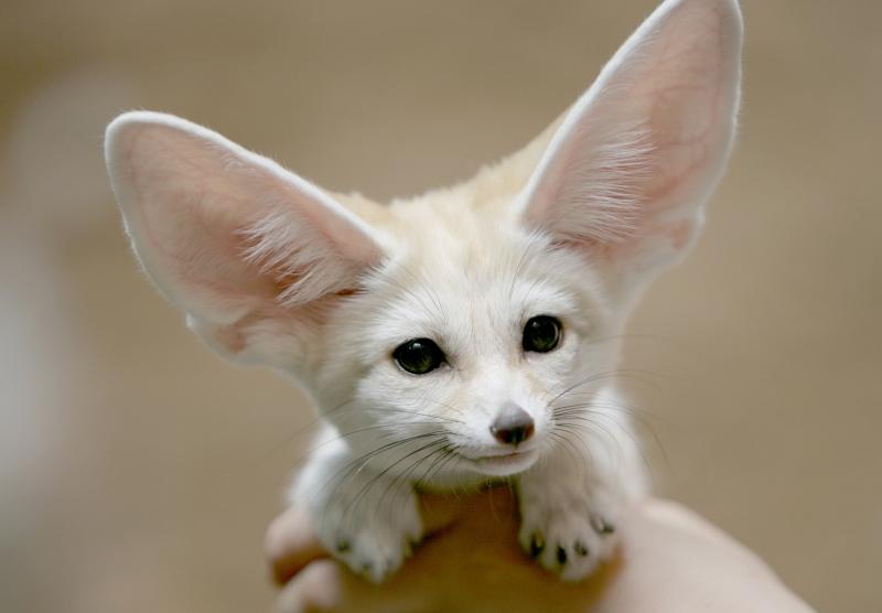 fennec fox2
