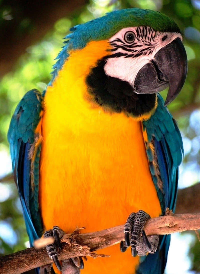 Gold & Blue Macaw