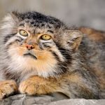 Manul, The Prehistorical Cat