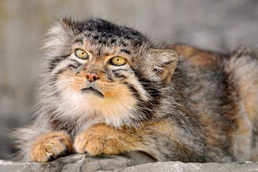 Manul, The Prehistorical Cat