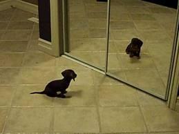 Mini Daschund Puppy VS Mirror