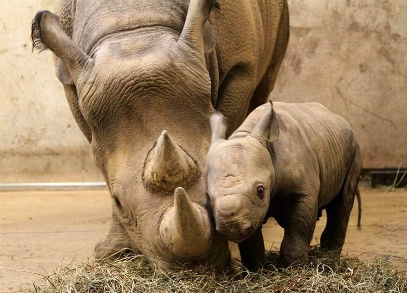 Mini Me Rhino