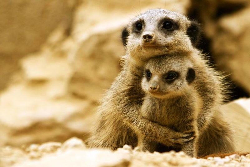 Mini Me Meerkat