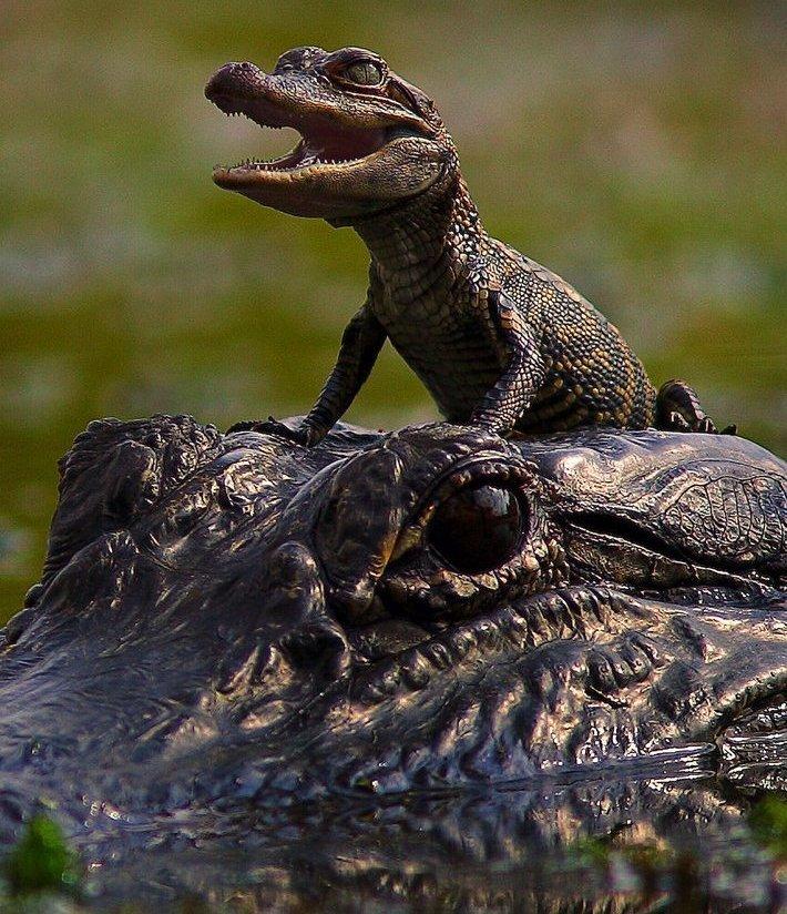 Mini Me Alligator