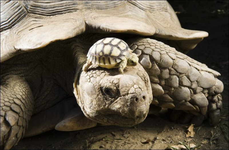 Mini Me Turtle