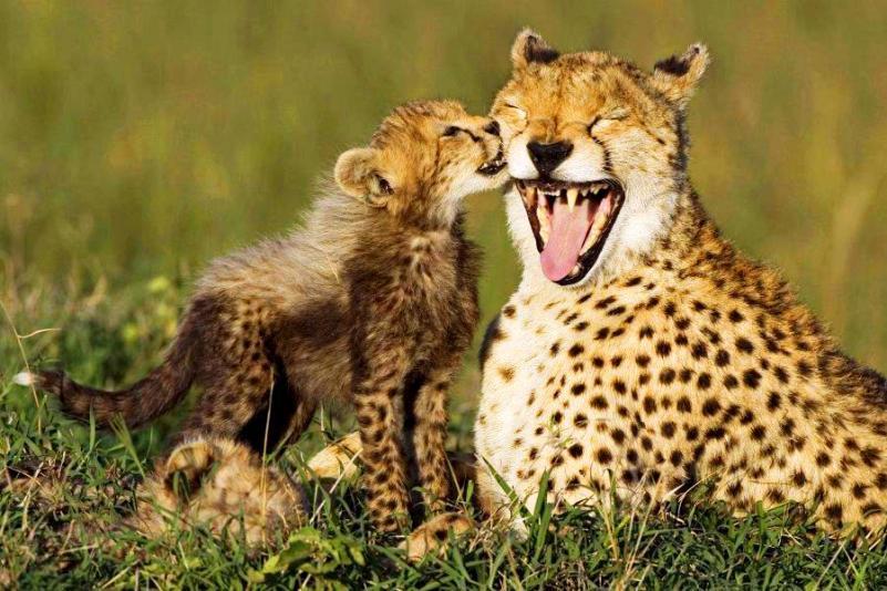 Mini Me Cheetah