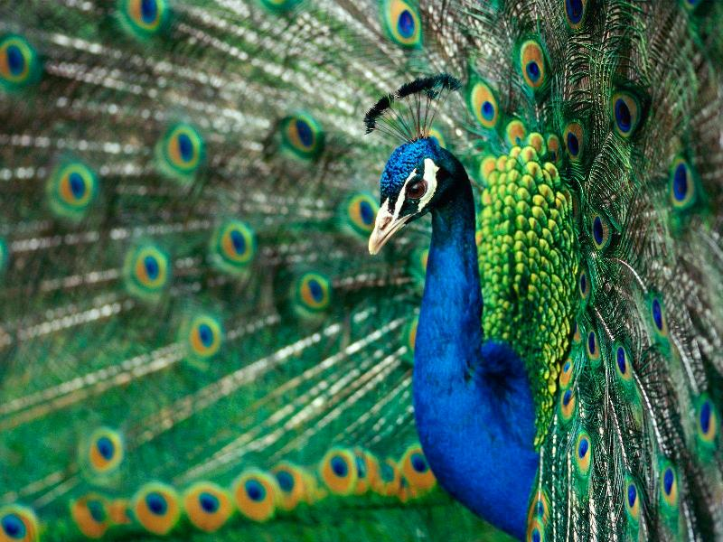 Face Eyes Photography Nature Peacocks Birds Colorful: The 10 Most Beautiful Exotic Birds In The World