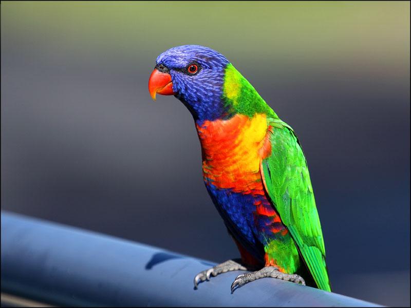 13565-rainbow lorikeet